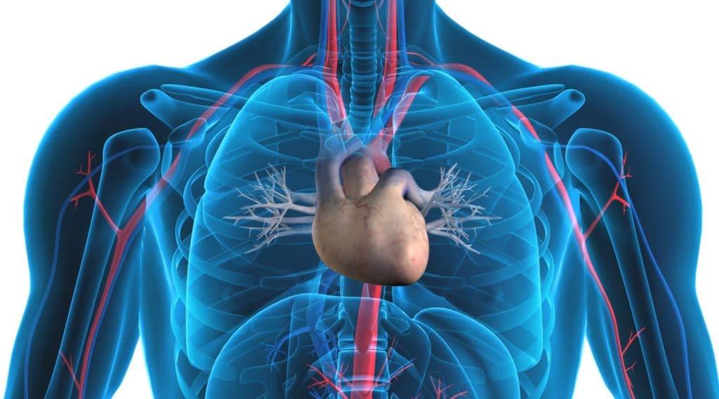 human heart diagram