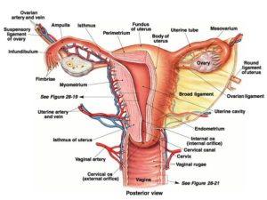 Reproductive-system
